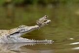 Sapo audacioso descansou sobre o nariz de crocodilo em Jacarta (Foto: Fahmi Bhs)