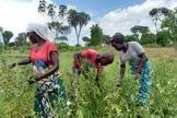 Mwanahamisi Guyato e seus filhos em sua plantação. (Foto: Reprodução / ICC)