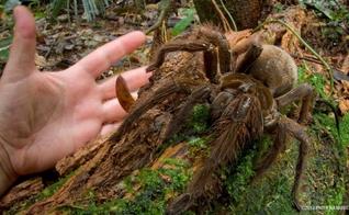 Aracnídeo da família das tarântulas chega a ter 30cm