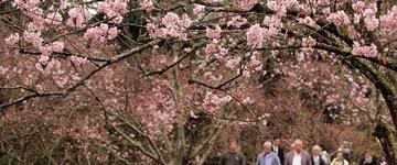37ª edição da Festa das Cerejeiras começa neste fim de semana em São Paulo