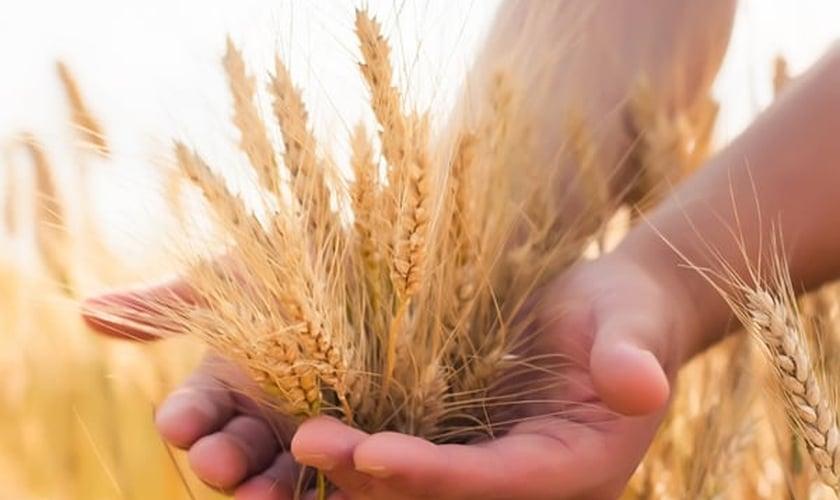 SHAVUOT é conhecida como a festa da colheita. (Foto: Stuff Jews Should Know)