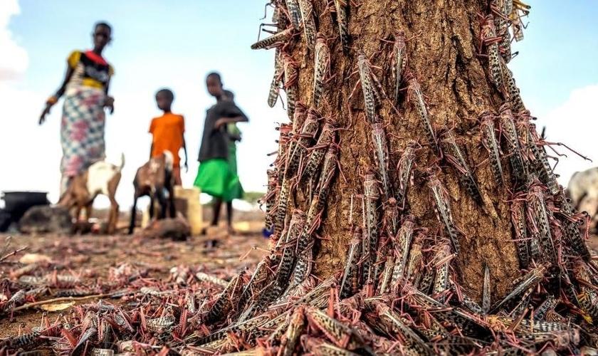 Partes da África enfrentaram o maior surto de gafanhotos em 70 anos, e agora uma segunda onda de insetos vorazes, cerca de 20 vezes o tamanho do primeiro, está chegando. (Foto: Sven Torfinn / FAO via AP)