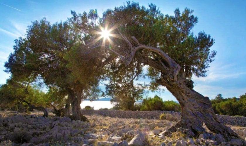 Jardim de oliveiras. (Foto: Reprodução/Lika)