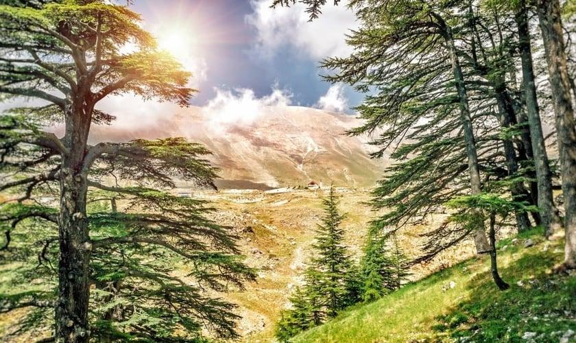 Cedro do Líbano. (Foto: Canva)