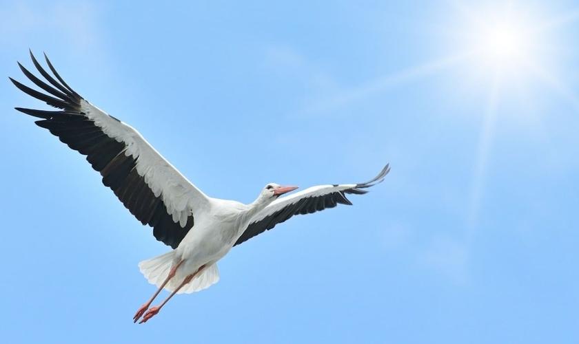Cegonha voando em direção à luz do sol. (Foto: Canva)