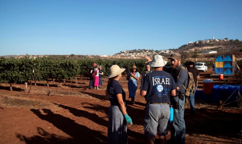 Voluntários do grupo cristão HaYovel colhem uvas em uma vinha nos arredores de Har Bracha, na Cisjordânia. (Foto: Reuters/Ronen Zvulun)
