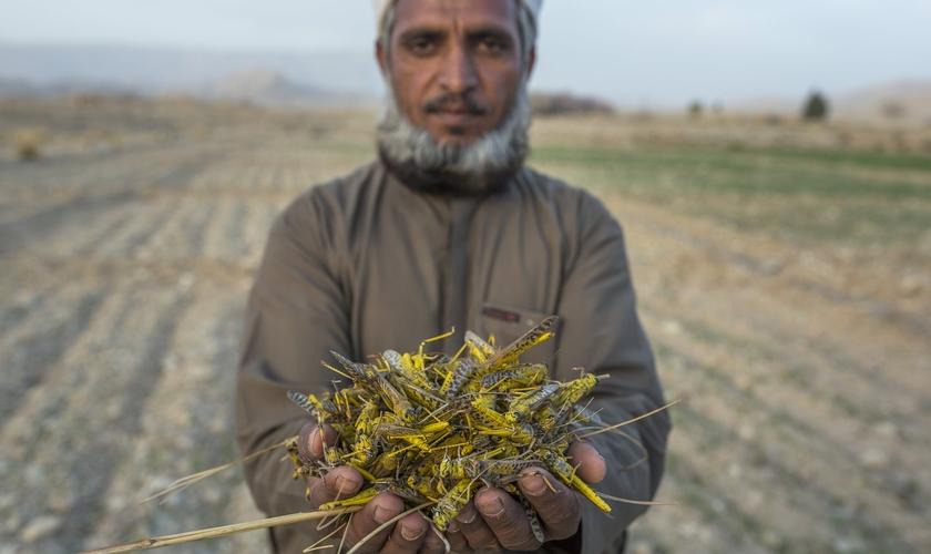 Agricultor paquistanês cuja colheita de trigo foi exterminada por gafanhotos na província de Baluchistão. (Foto: Bloomberg/Getty Images)