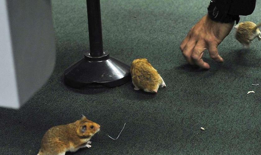 Cinco roedores foram soltos no plenário onde ocorre a CPI da Petrobrás. (AFP Photo/Luis Macedo)
