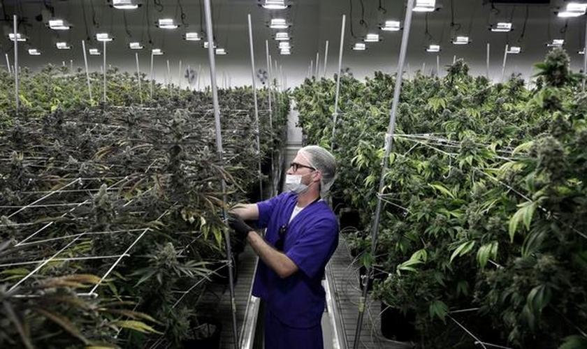 Funcionário de empresa de cultivo de maconha trabalha com mudas da erva em Nevada, EUA. (Foto: John Locher/AP)