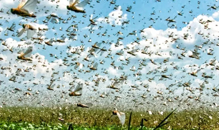 Nuvem de gafanhoto: insetos ressurgem no Rio Grande do Sul e atacam mata nativa (Foto: Reprodução / Exame)