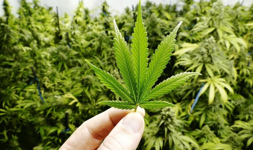 Muitas empresas questionam o motivo da proibição da cannabis no Brasil, uma vez que não pode ser utilizada para a fabricação de drogas. (Foto: Open Range Stock/Getty Images)